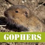 gotgophersGOPHER