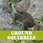 gotgophersGROUNDSQUIRRELS