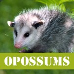 gotgophersOPOSSUM
