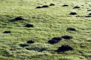 mole_damage_lawn_garden_05